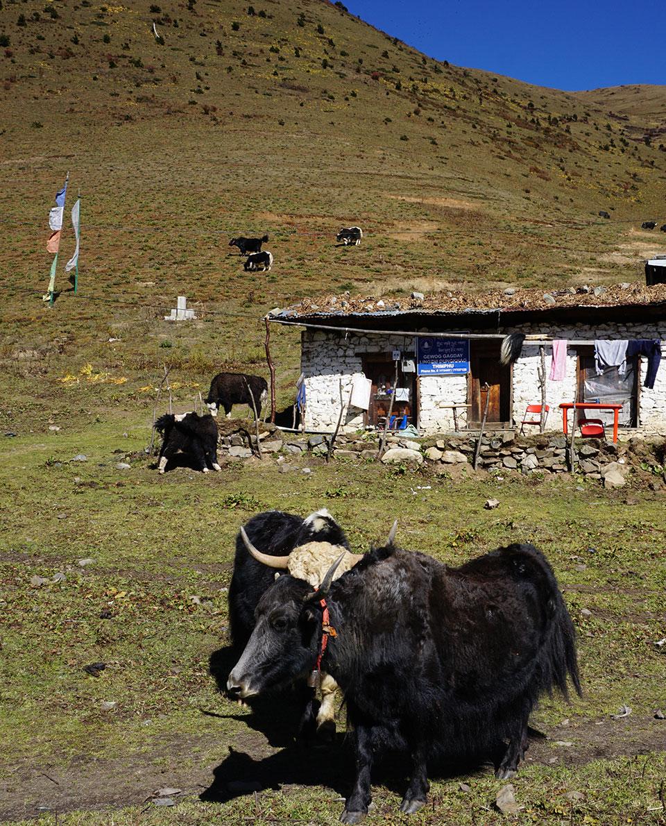 Snowman trek Bhutan solo Yaks