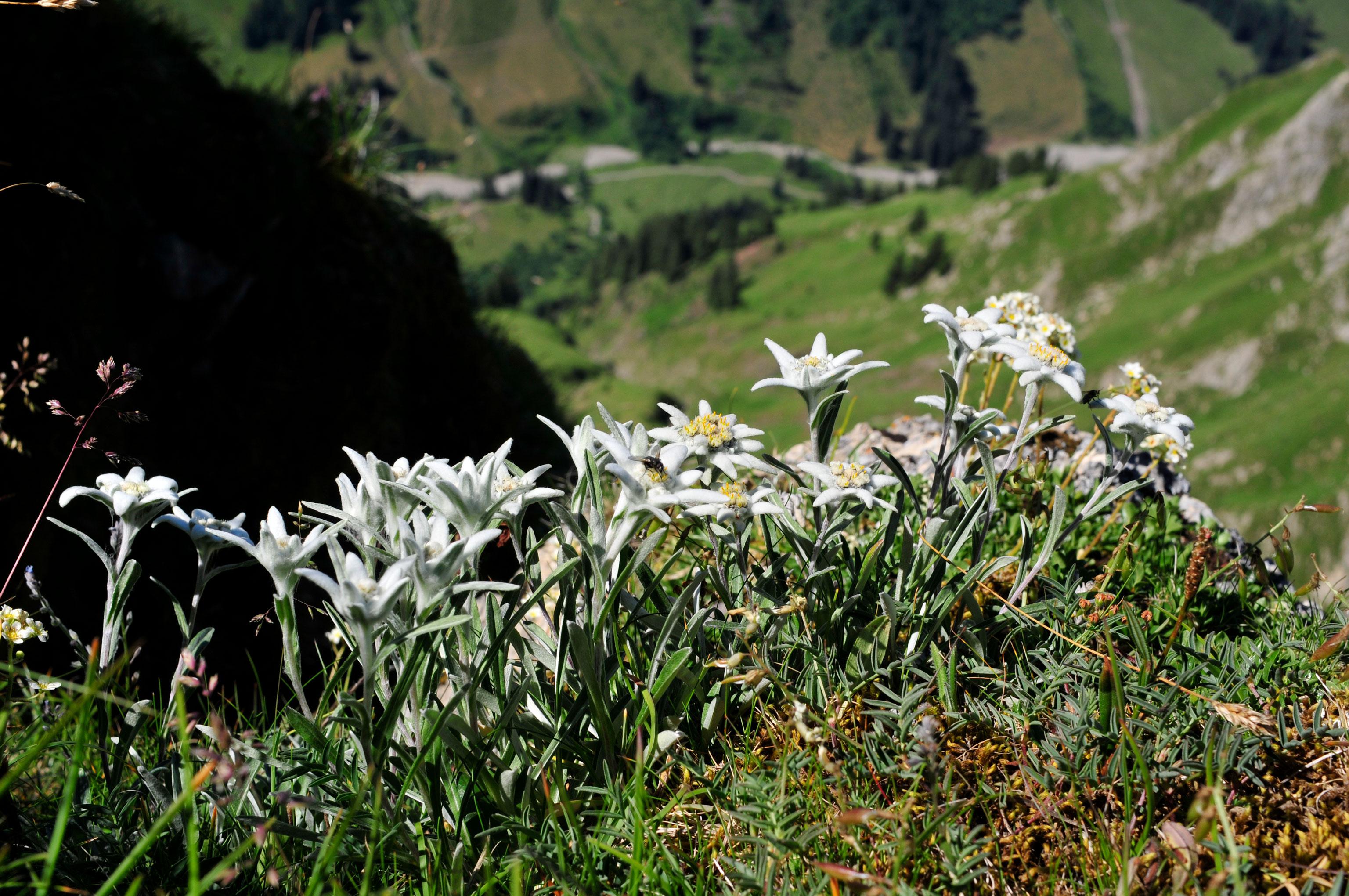 Edelweiss Blumen Höfats